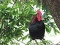 Azorsky roosters DSCN4028.JPG