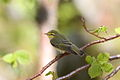 Bøksanger - Wood Warbler (Phylloscopus sibilatrix).JPG