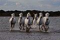 BH5U0977 chevaux de Camargue dans les flots près des Saintes Maries de la Mer.jpg