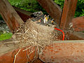 Baby Robins in Nest 02.jpg