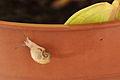 Baby snail 09.JPG