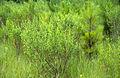 Baccharis halimifolia 2155006.jpg