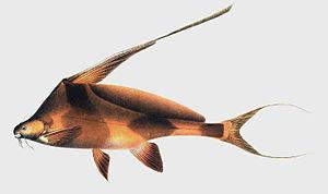 Bagrichthys - Bagrichthys hypselopterus