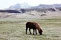 Bailey Iceland pony 2.jpg