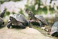 BanarghataZoo Turtle.jpg