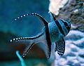 Banggai Cardinalfish (5730533212).jpg
