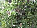 Banksia serrata1.jpg