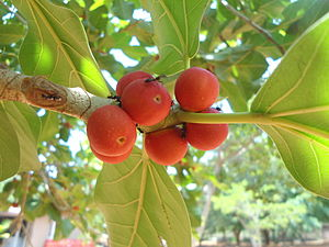 Ficus benghalensis - Banyan figs at Indira Gandhi Zoo Park, Visakhapatnam