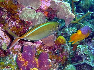 Bar jack - A bar jack foraging alongside a Spanish hogfish on a coral reef. Note the slight colour change on the dorsal surface