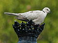 Barbary Dove (Streptopelia risoria) RWD.jpg