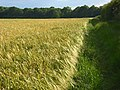 Barley, Cookham - geograph.org.uk - 857221.jpg