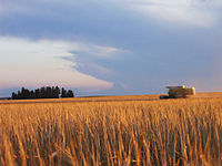 [Image: 200px-Barley-Turkyurdu_Village-Gaziantep-ali_riza.jpg]