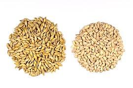 Barley Seeds.jpg
