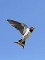 Barn swallow, Hirundo rustica, at Rietvlei Nature Reserve, Gauteng, South Africa (31378009306).jpg