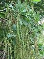 Barringtonia acutangula at Mayyil (3).jpg
