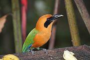 Baryphthengus martii -Panama-8
