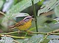 Basileuterus culicivorus -Horto Florestal, Sao Paulo, Brazil-8.jpg