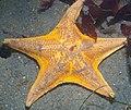 Bat Star (6004428584).jpg