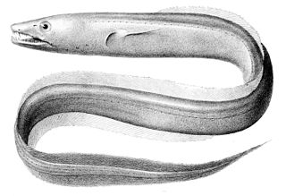 Large-toothed conger species of fish