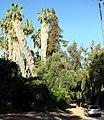 Bearded Palms, Prospect Park, Redlands, CA 5-2012 (7310070234).jpg