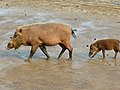 Bearded Pigs (Sus barbatus) female with young (8220049329).jpg
