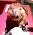 Beaver BMoS.jpg
