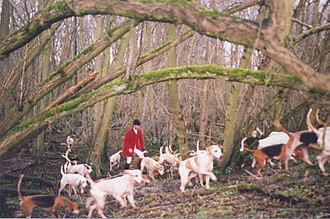 Canidae - Traditional English fox hunt