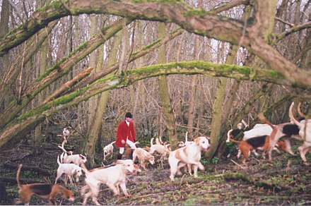 Master or whipper-in and fox hounds drawing a wood. Hunting in Yorkshire, northern England, in 2005, on the last day of fully legal, proper, fox hunting. BedaleHunt2005.jpg