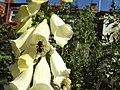 Bee on a flower, Birkenhead - DSC09920.JPG