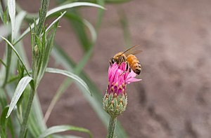 Centaurea cyanus - Honey bee on flowering Centaurea cyanus