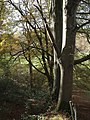 Beeches in Northcott Wood - geograph.org.uk - 610157.jpg