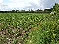 Beet field on Low Common - geograph.org.uk - 475731.jpg