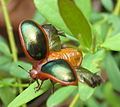 Beetle - taking off (6689339375).jpg
