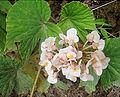 Begonia involucrata, the Angel Wing Begonia. (9432690404).jpg