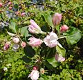Belle de Boskoop blossom.jpg
