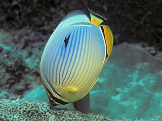 Melon butterflyfish species of fish