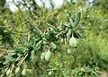 Berberis empetrifolia kz02.jpg