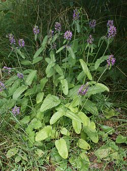 Betonica officinalis kz.jpg