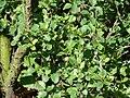Betula-humilis-1020867.JPG