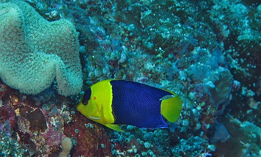 Bicolor Angelfish (Centropyge bicolor) (8486579682)