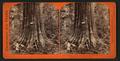 Big Tree, George Washington, 284 feet high, 52 feet circumference, Calaveras County, by Lawrence & Houseworth.png