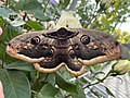 Big butterly in my garden.jpg