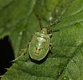 Birch Shieldbug nymph (14897275862).jpg