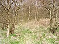 Birch woods, Snawdon - geograph.org.uk - 205646.jpg