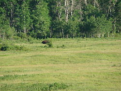 Bison Encloser Riding Mountain National Park Manitoba Canada (2).JPG