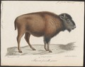 Bison americanus - 1700-1880 - Print - Iconographia Zoologica - Special Collections University of Amsterdam - UBA01 IZ21200221.tif
