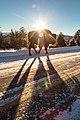 Bison walking along the road at sunrise (aafafa45-4a58-4ce8-8303-e8f65e7ee838).jpg