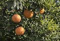 Bitter orange - Citrus × aurantium 03.jpg