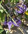Bittersweet (Solanum dulcamara) (3258376740).jpg