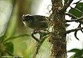 Black-cheeked Warbler (2718554804).jpg